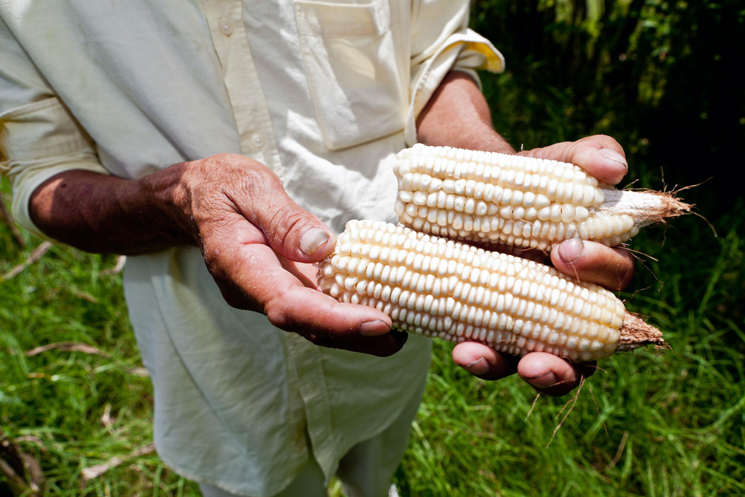 hombre con milpa en sus manos de su finca diversificada en El Salvador